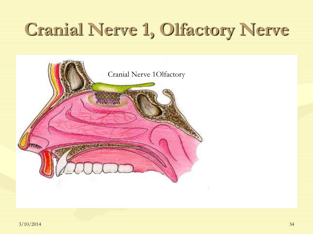 Cranial Nerve 1, Olfactory Nerve