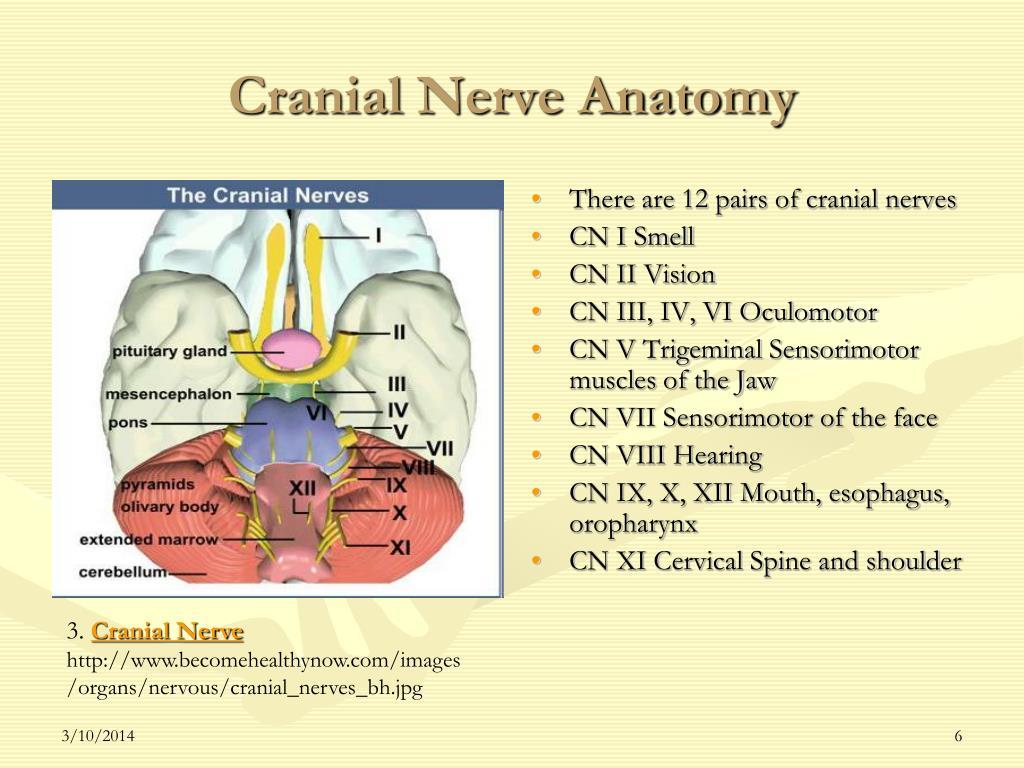 Cranial Nerve Anatomy