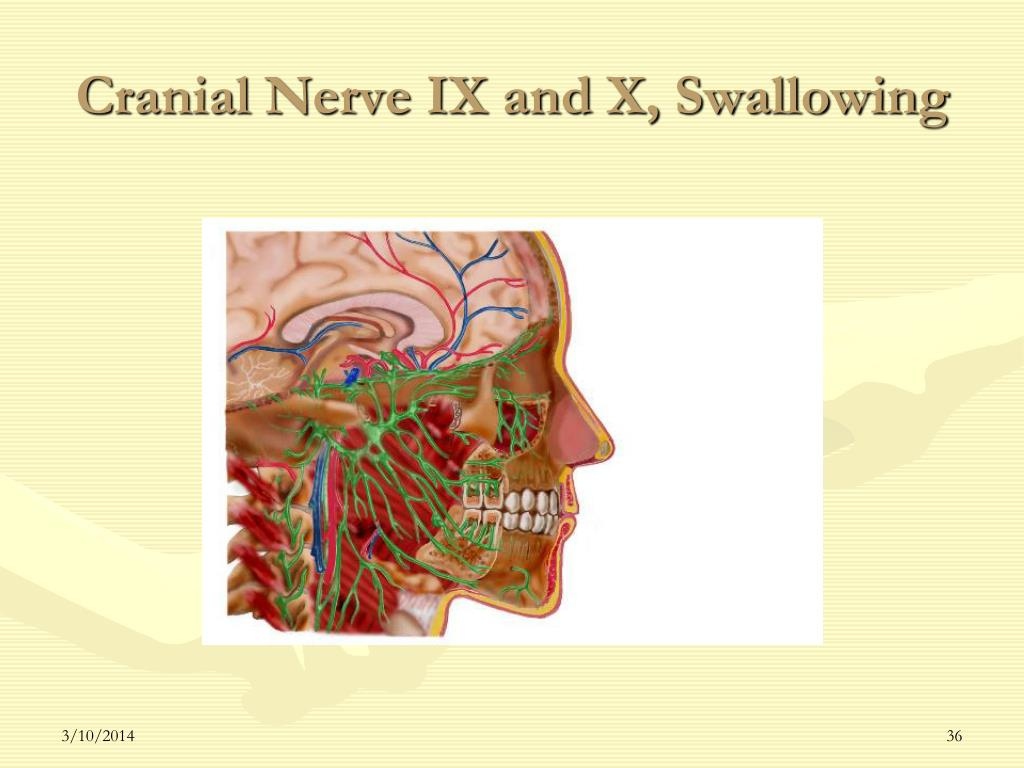 Cranial Nerve IX and X, Swallowing