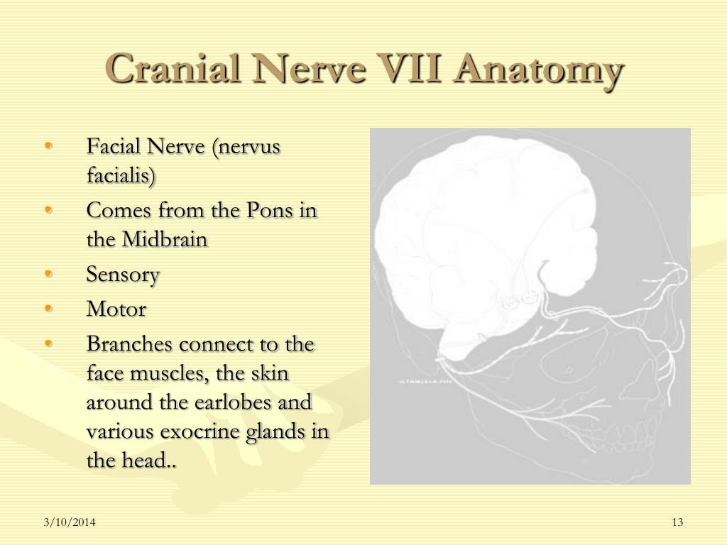 Cranial Nerve VII Anatomy