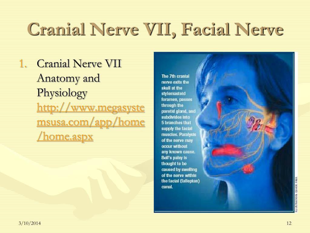 Cranial Nerve VII, Facial Nerve