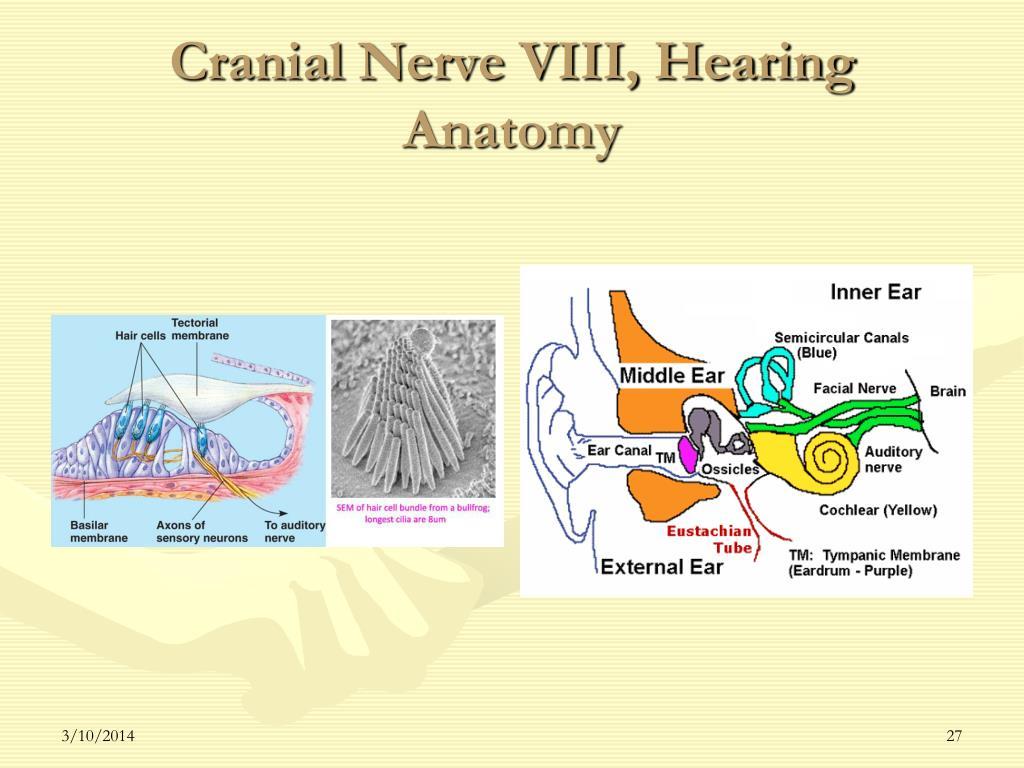 Cranial Nerve VIII, Hearing Anatomy