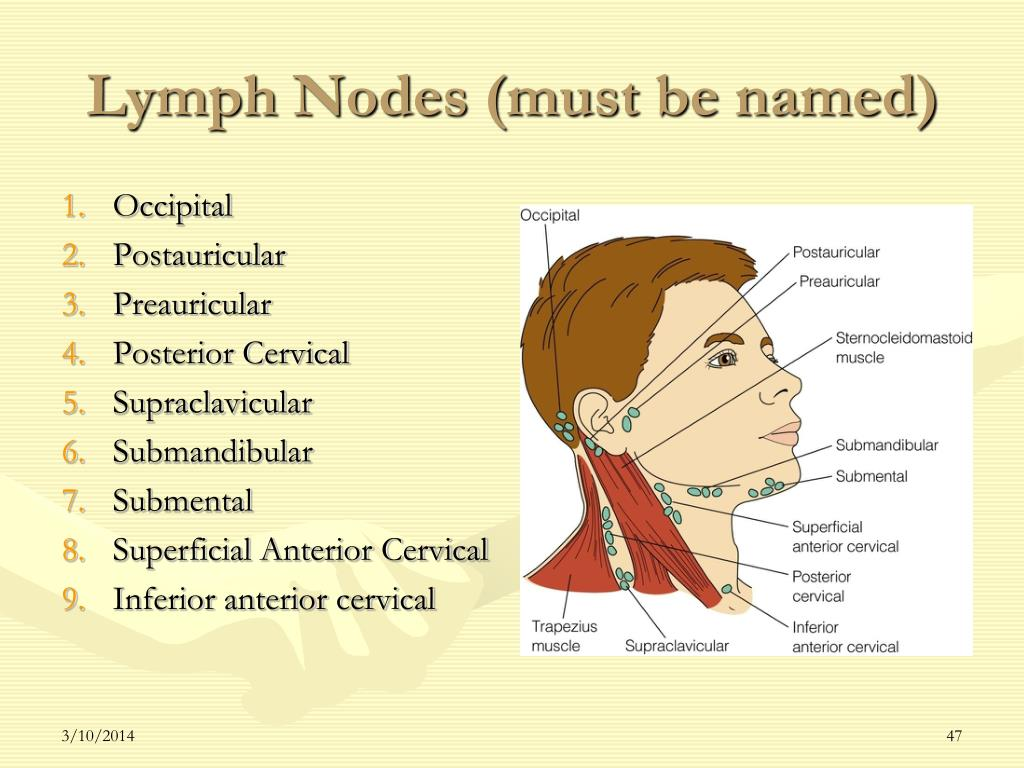 Lymph Nodes (must be named)