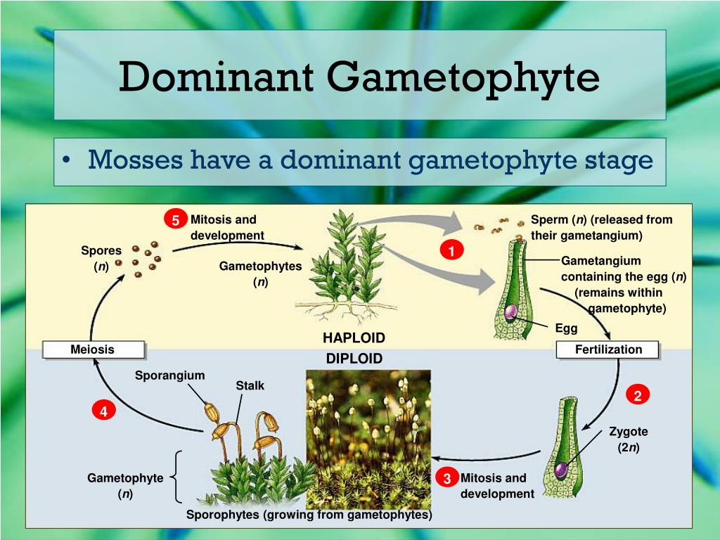 gametophyte stage - photo #4