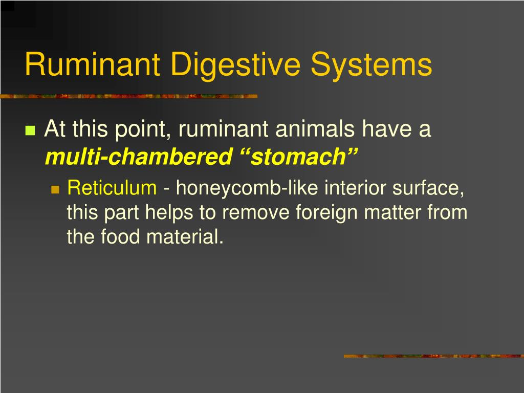 ruminant digestive In ruminants, food enters the  acid (parietal cells) and digestive enzymes  ruminant stomach - anatomy & physiology learning resources flashcards.
