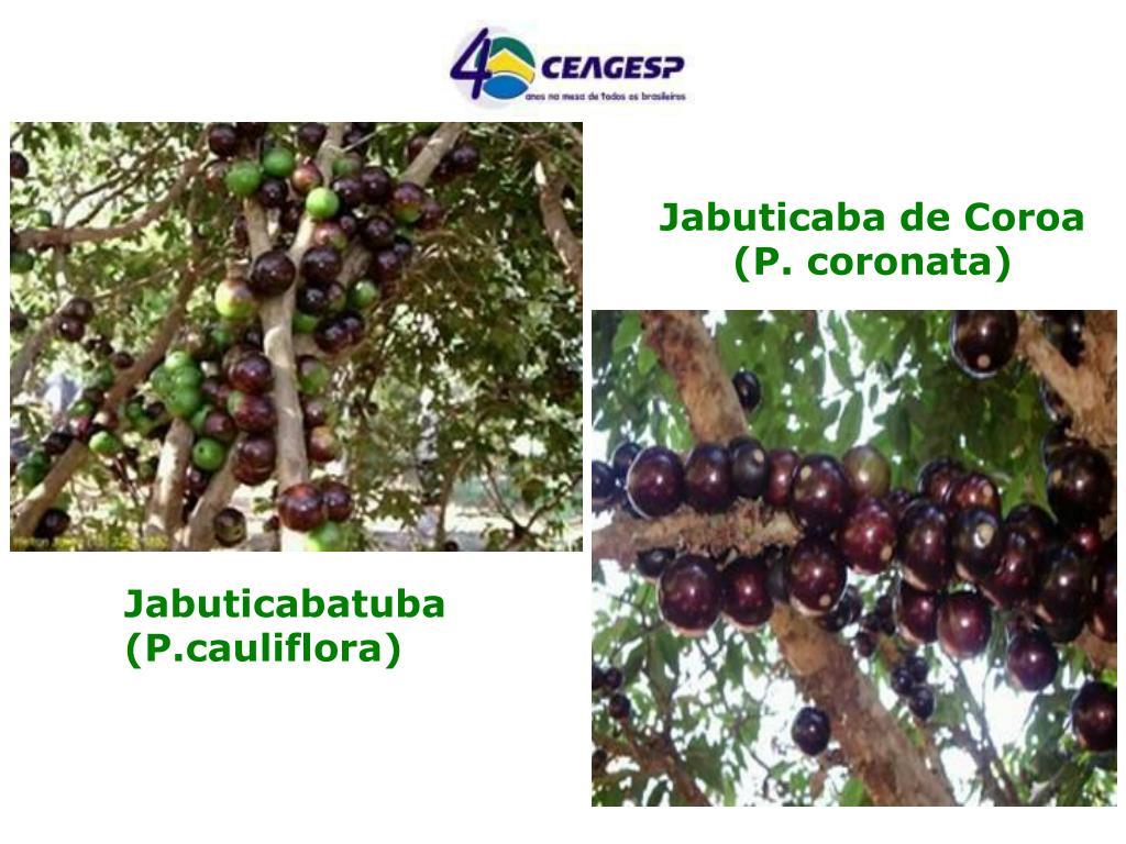 Jabuticaba de Coroa (P. coronata)