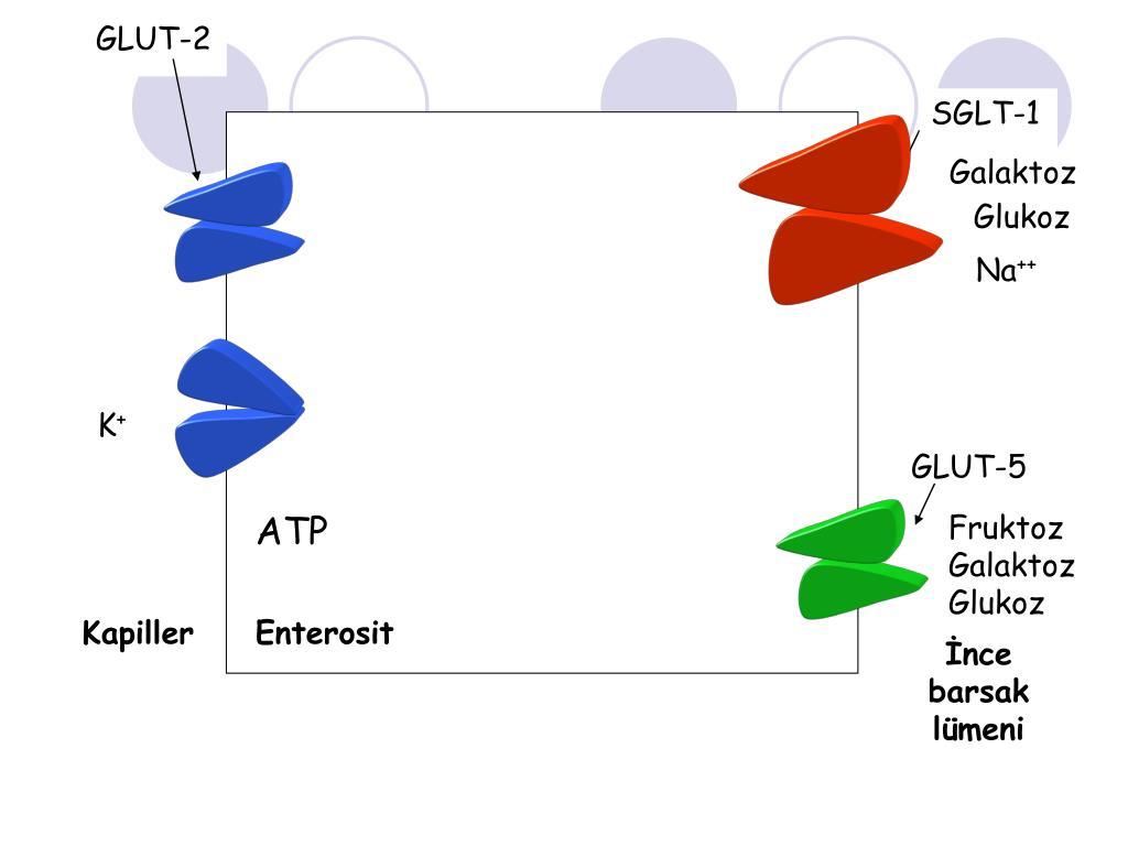 GLUT-2