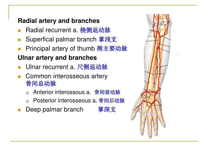 PPT - The upper limb PowerPoint Presentation - ID:224172