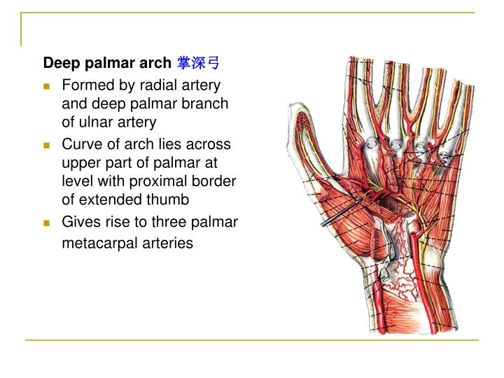 PPT - The upper limb PowerPoint Presentation - ID:224172