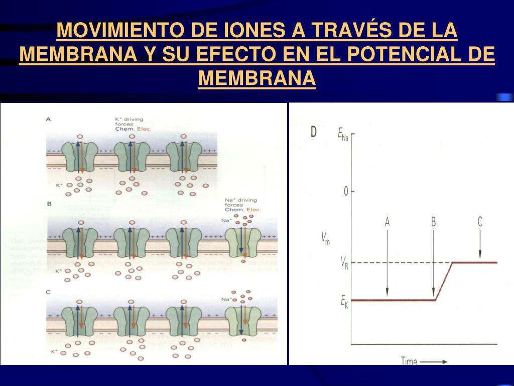 MOVIMIENTO DE IONES A TRAVÉS DE LA MEMBRANA Y SU EFECTO EN EL POTENCIAL DE MEMBRANA