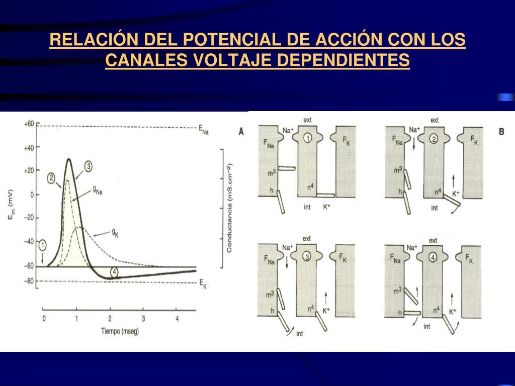 RELACIÓN DEL POTENCIAL DE ACCIÓN CON LOS CANALES VOLTAJE DEPENDIENTES