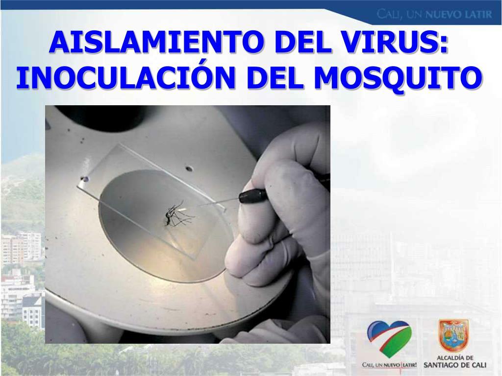 AISLAMIENTO DEL VIRUS: