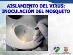 aislamiento del virus inoculaci n del mosquito