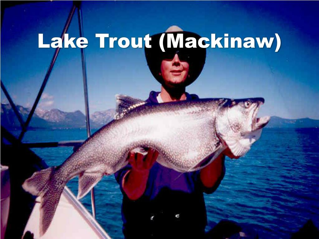 Lake Trout (Mackinaw)