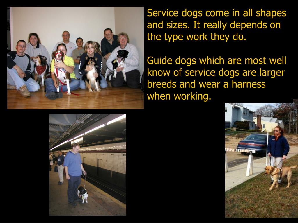 Service dogs come in all shapes and sizes. It really depends on the type work they do.