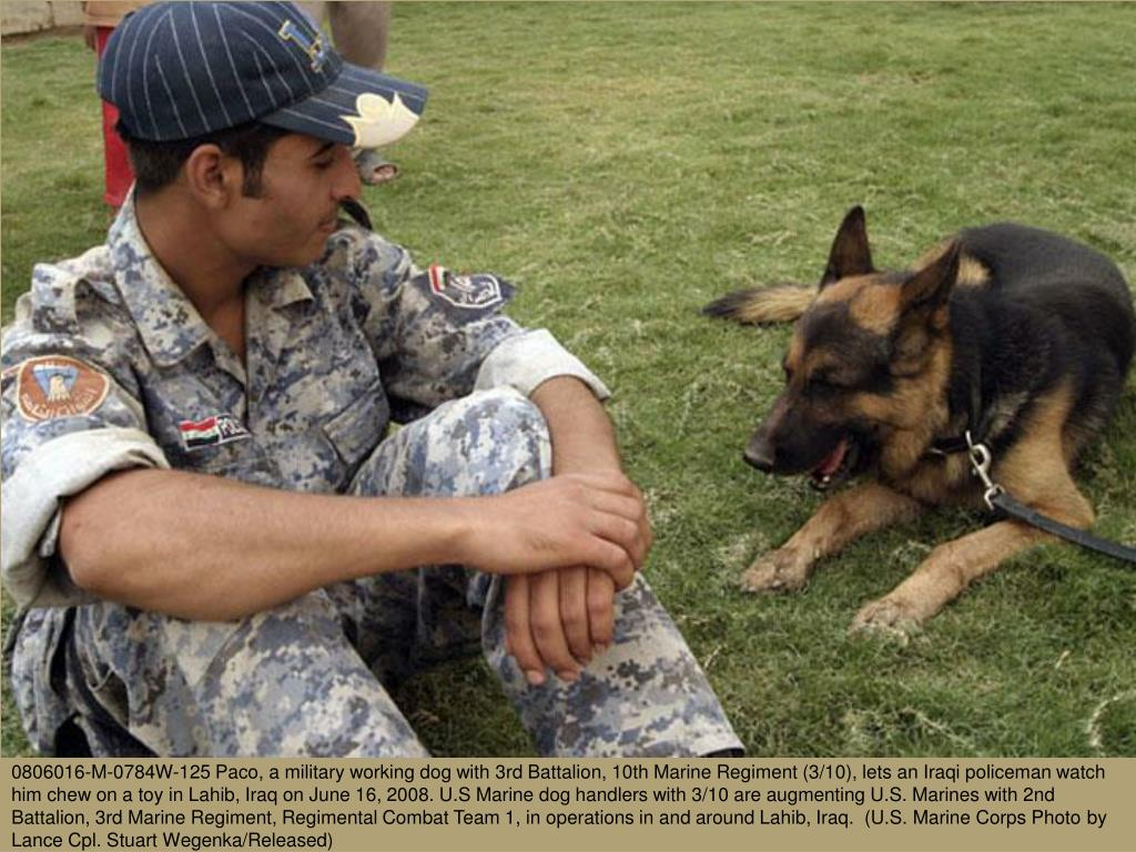 0806016-M-0784W-125 Paco, a military working dog with 3rd Battalion, 10th Marine Regiment (3/10), lets an Iraqi policeman watch him chew on a toy in Lahib, Iraq on June 16, 2008. U.S Marine dog handlers with 3/10 are augmenting U.S. Marines with 2nd Battalion, 3rd Marine Regiment, Regimental Combat Team 1, in operations in and around Lahib, Iraq.  (U.S. Marine Corps Photo by Lance Cpl. Stuart Wegenka/Released)