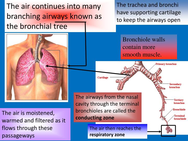 The air continues into many branching airways known as the bronchial tree