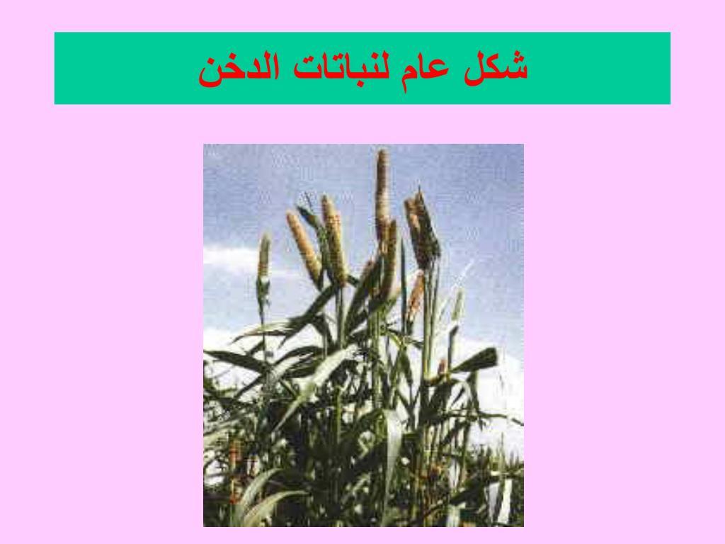شكل عام لنباتات الدخن