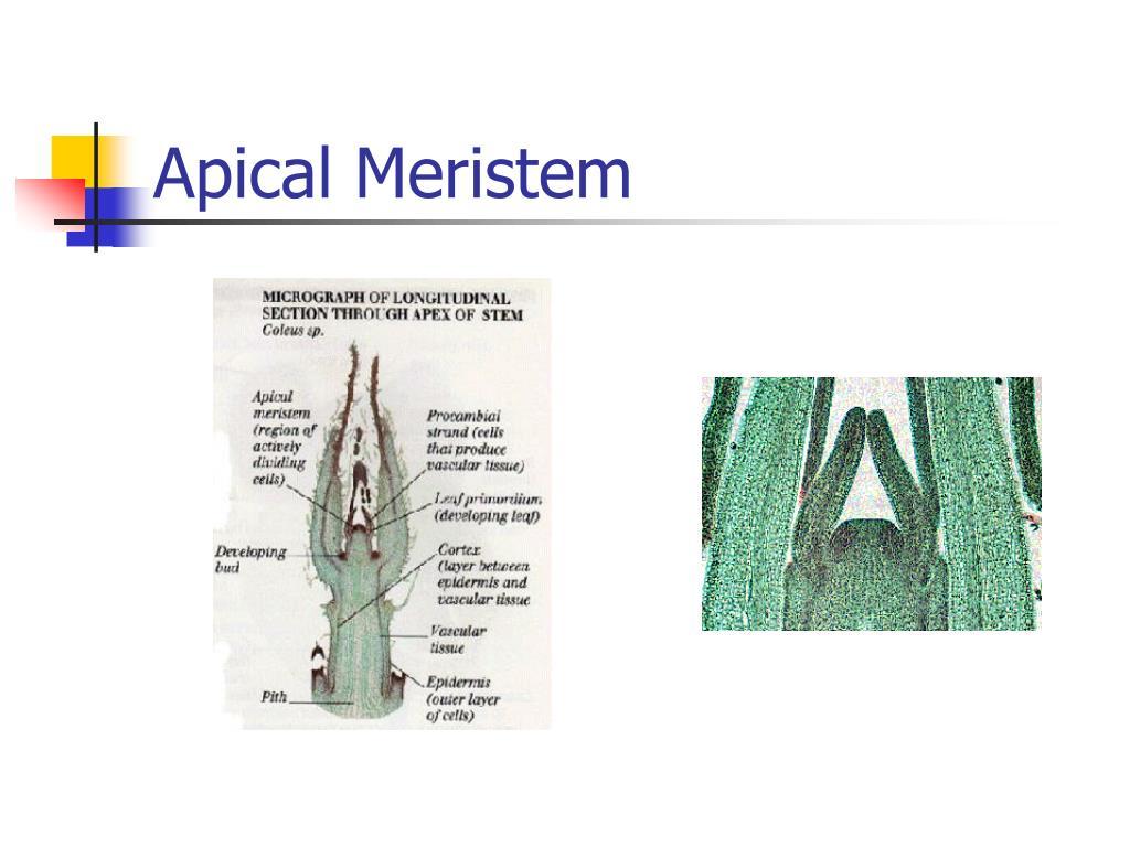 Apical Meristem