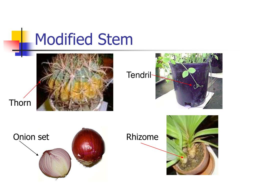 Modified Stem