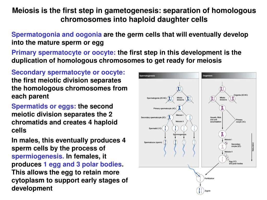 Meiosis is the first step in gametogenesis: separation of homologous