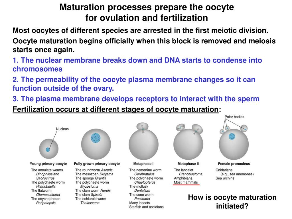 Maturation processes prepare the oocyte