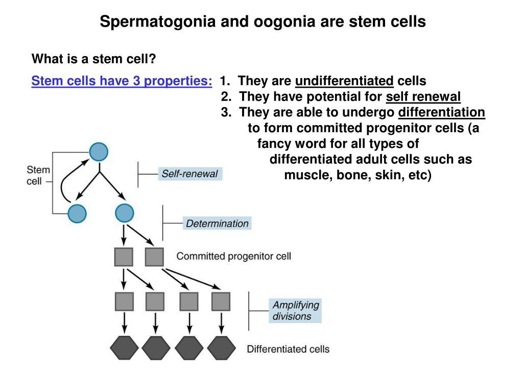 Spermatogonia and oogonia are stem cells