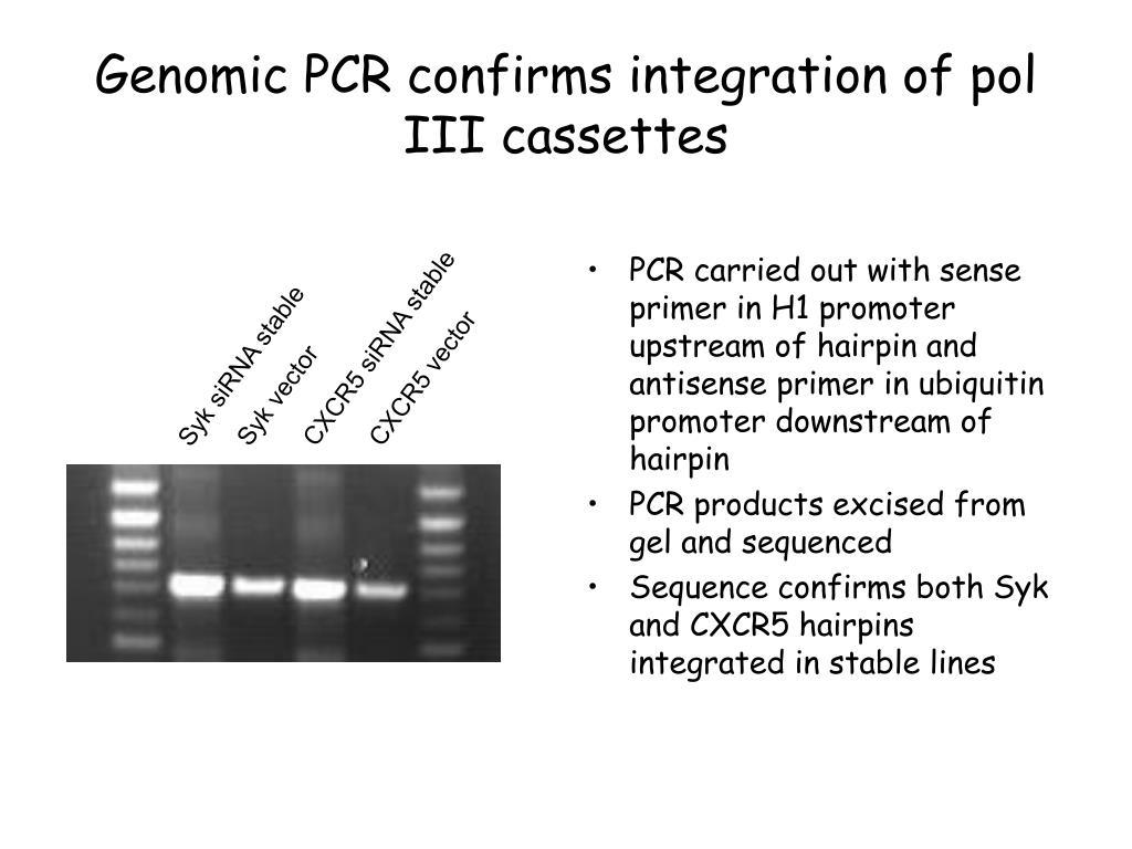 CXCR5 siRNA stable