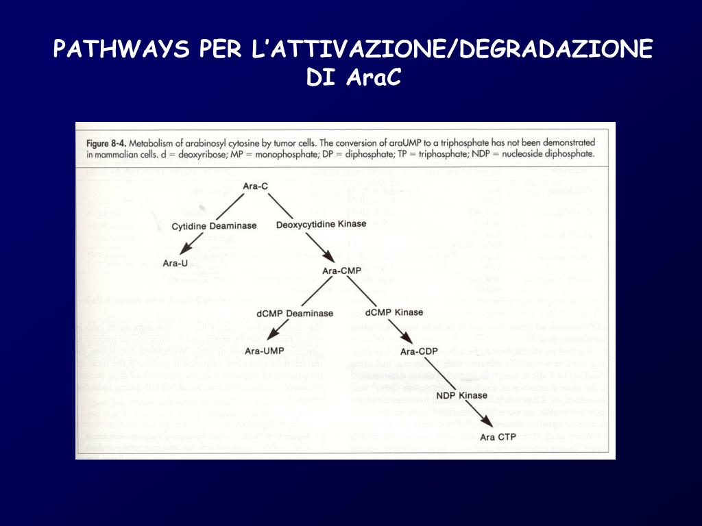 PATHWAYS PER L'ATTIVAZIONE/DEGRADAZIONE DI AraC