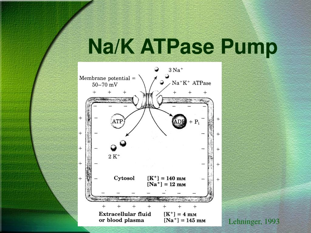 Na/K ATPase Pump