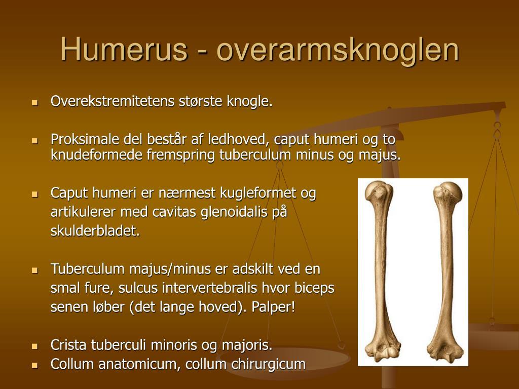 Humerus - overarmsknoglen