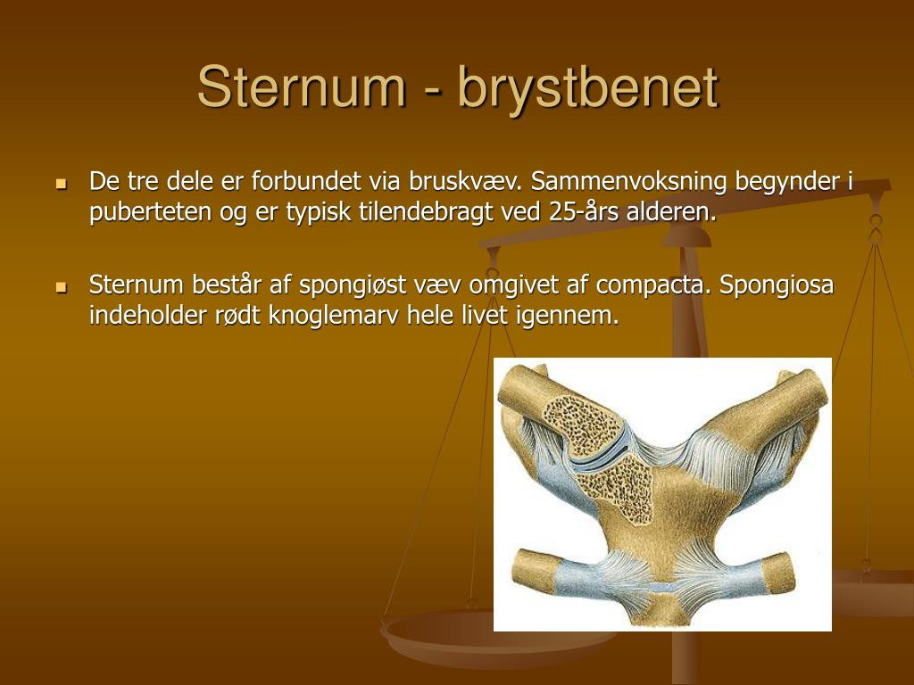 Sternum - brystbenet