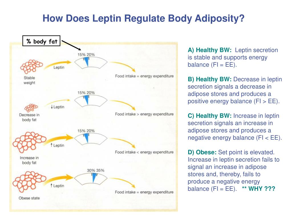 How Does Leptin Regulate Body Adiposity?