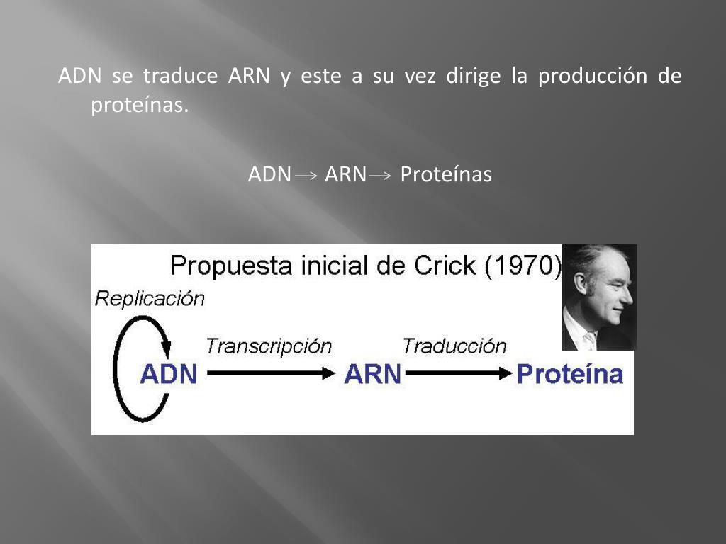 ADN se traduce ARN y este a su vez dirige la producción de proteínas.