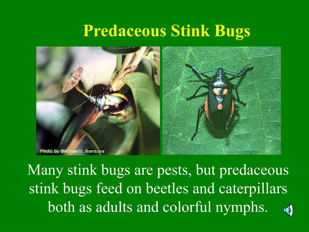 Predaceous Stink Bugs
