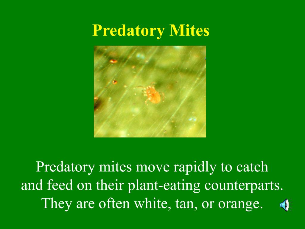 Predatory Mites