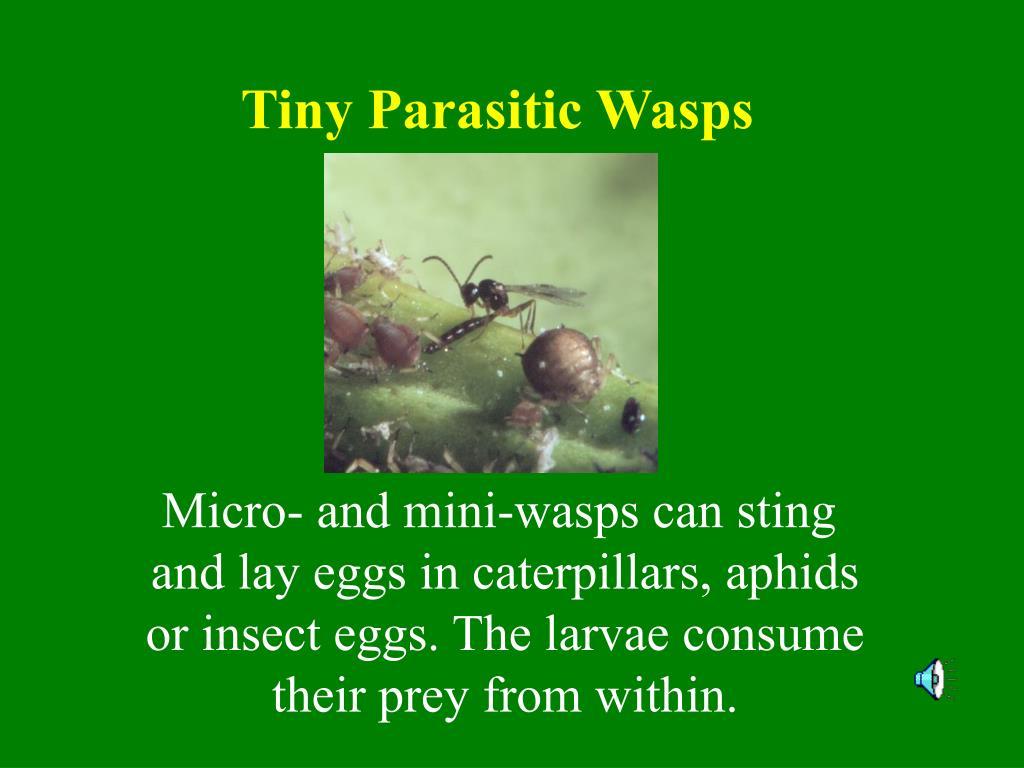 Tiny Parasitic Wasps