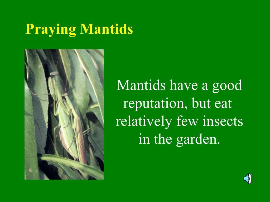 Praying Mantids