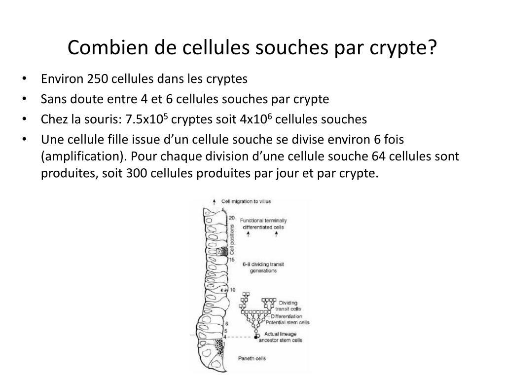 Ppt cours 4 notions de cellules souches dans l intestin r capitulatif powerpoint presentation - Combien de couches par jour ...