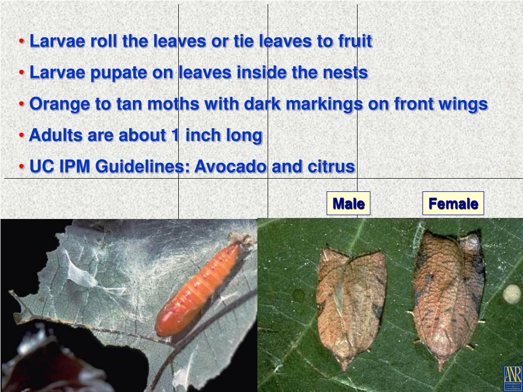 Larvae roll the leaves or tie leaves to fruit