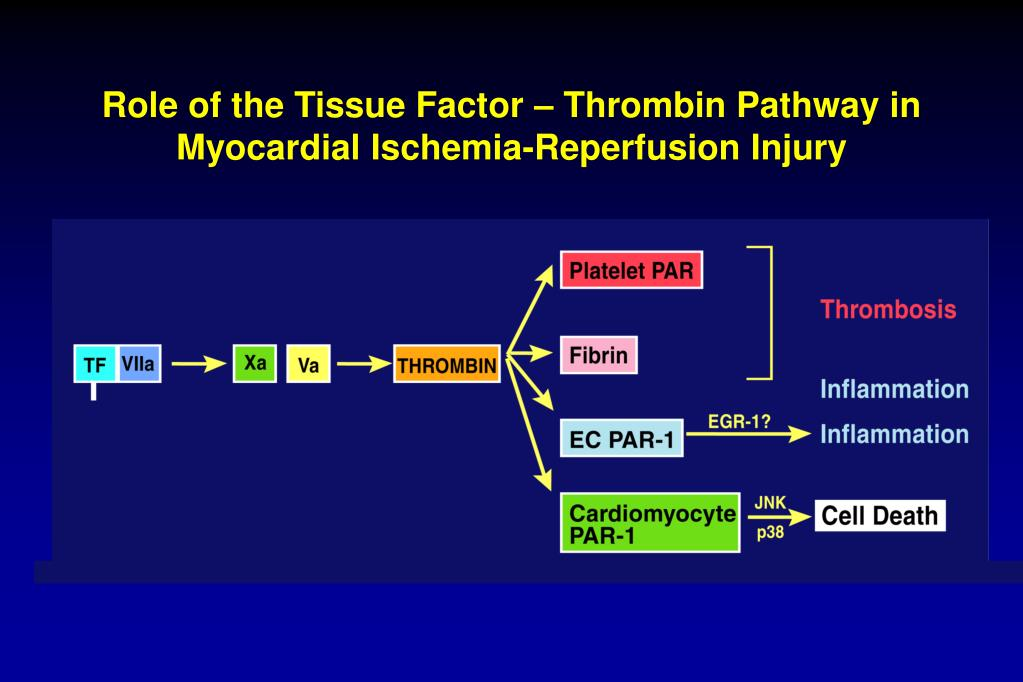 Role of the Tissue Factor – Thrombin Pathway in Myocardial Ischemia-Reperfusion Injury