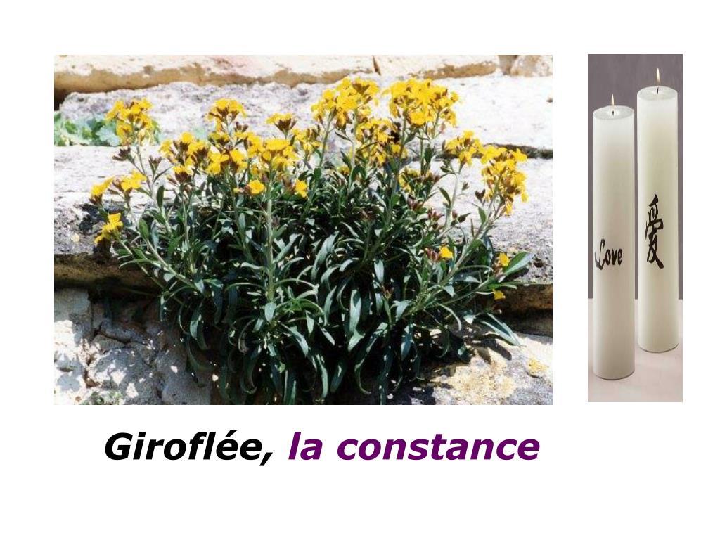 Giroflée,