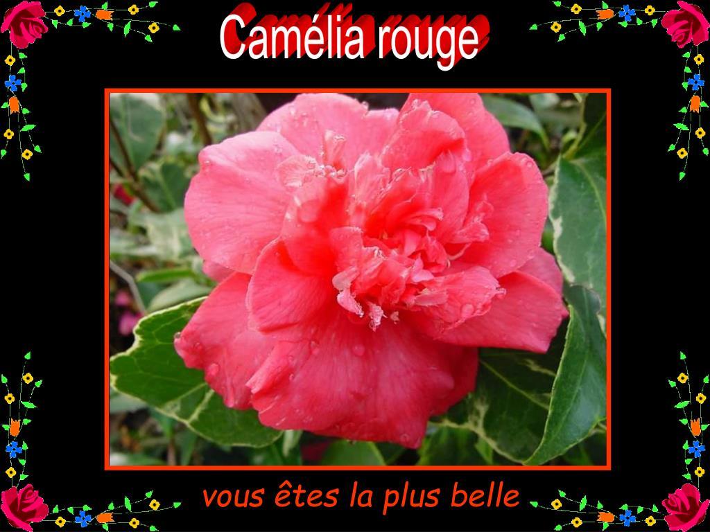 Camélia rouge