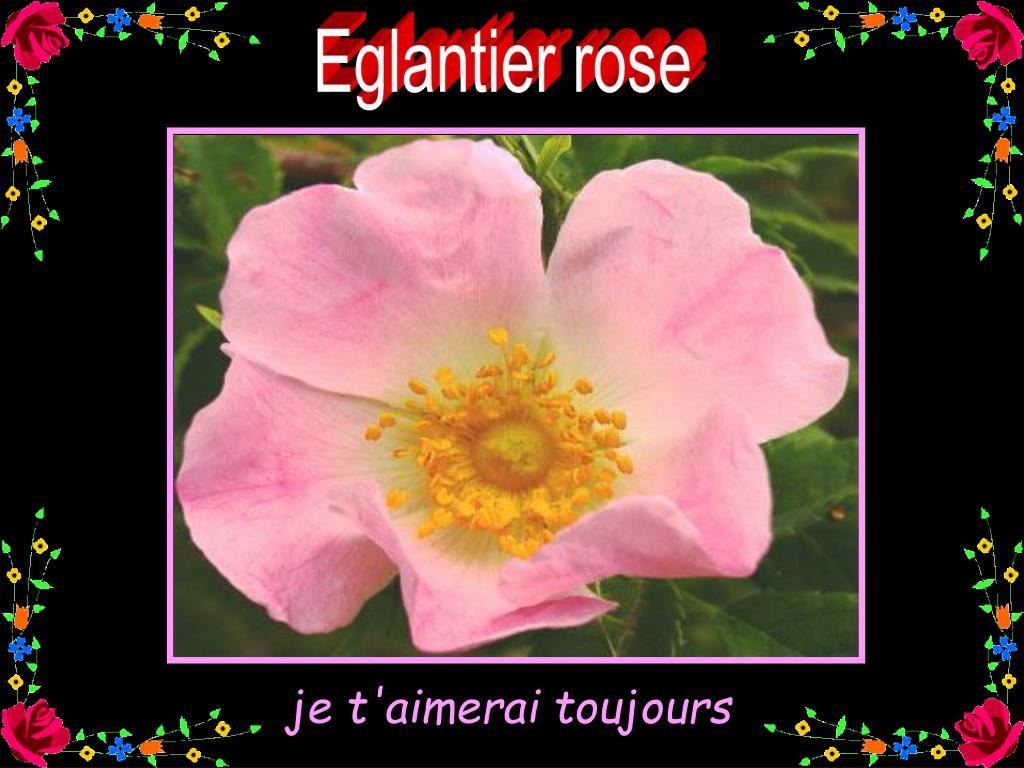 Eglantier rose