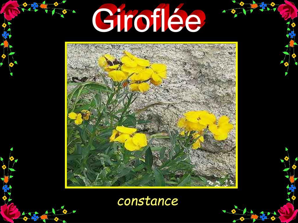 Giroflée