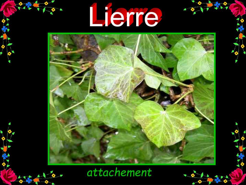 Lierre