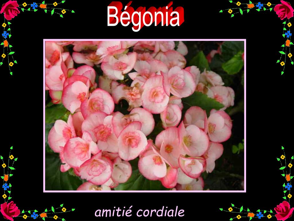 Bégonia