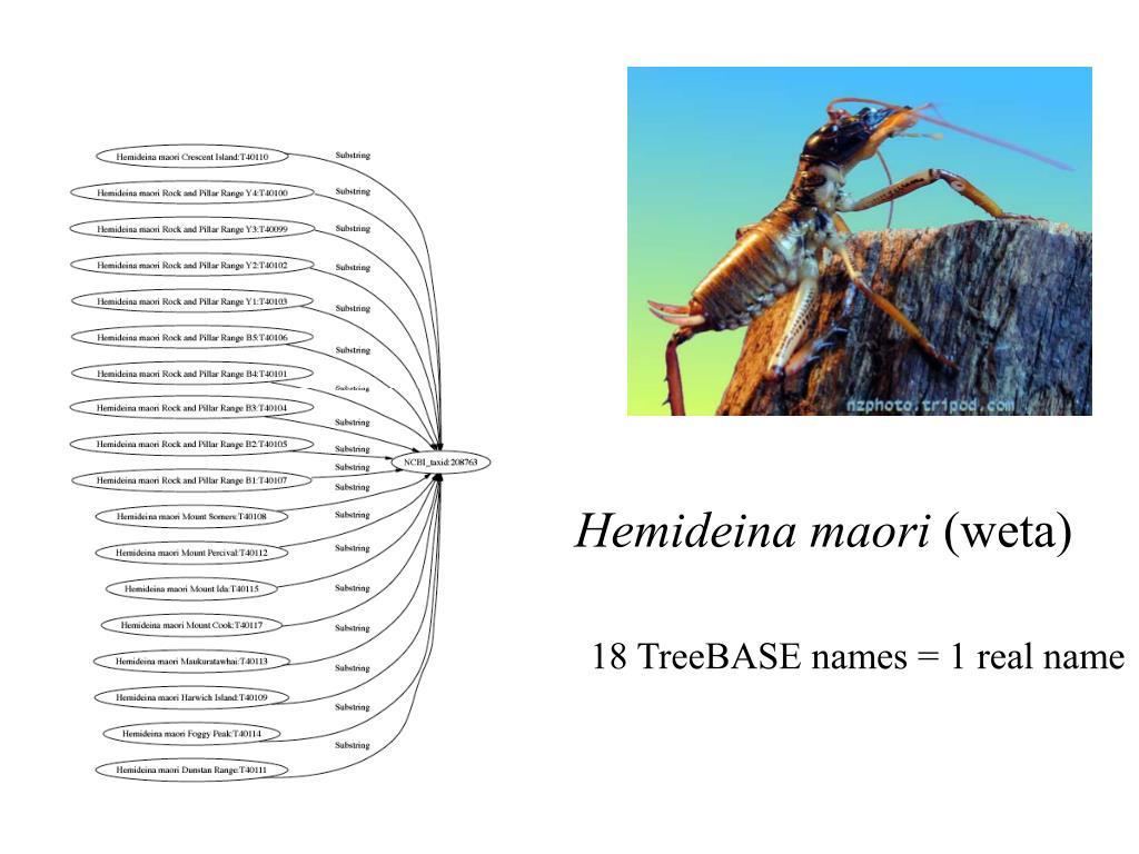 Hemideina maori