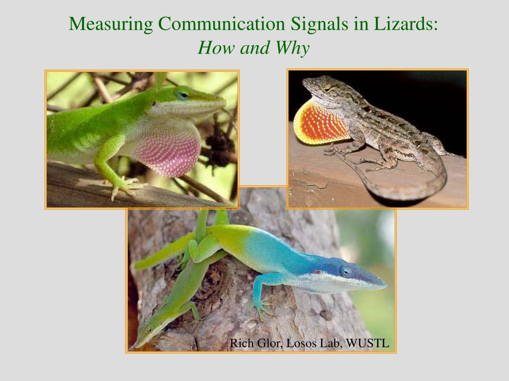 Measuring Communication Signals in Lizards: