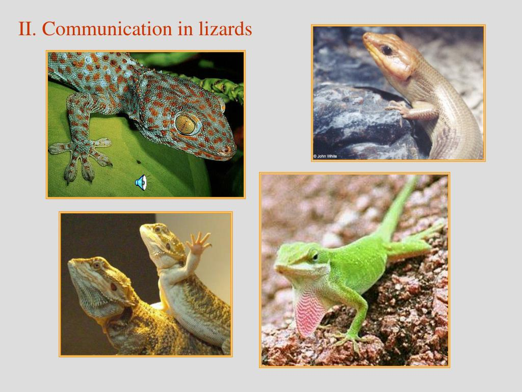 II. Communication in lizards